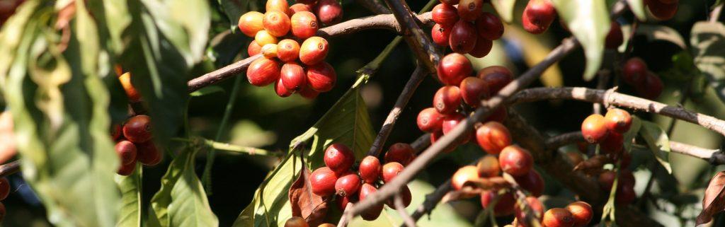 koffie ethiopie